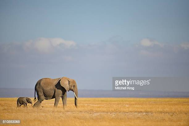elephant and calf at amboseli, kenya - baby elephant stock photos and pictures
