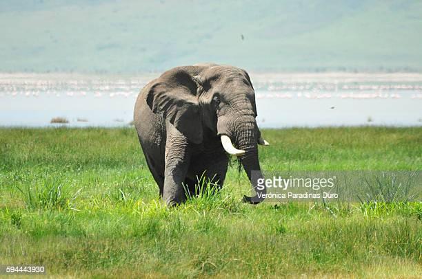 Elephant and Flamingos, Ngorongoro Crater