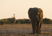 an african bush elephant south african