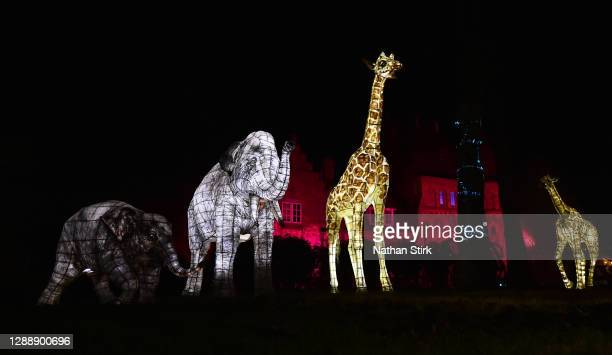 Elephant and Giraffe Lanterns look on during the rehearsals of Chester Zoo light trail festival called 'The Lanterns' at Chester Zoo on December 01,...