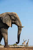 an african bush elephant some south