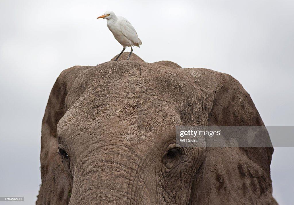 Elephant and Great Egret : Stock Photo