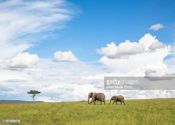 elephant and her baby cross a field in masai mara, kenya - erbivoro foto e immagini stock
