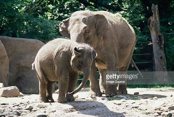 elephant and her calf - zoo stock pictures, royalty-free photos & images