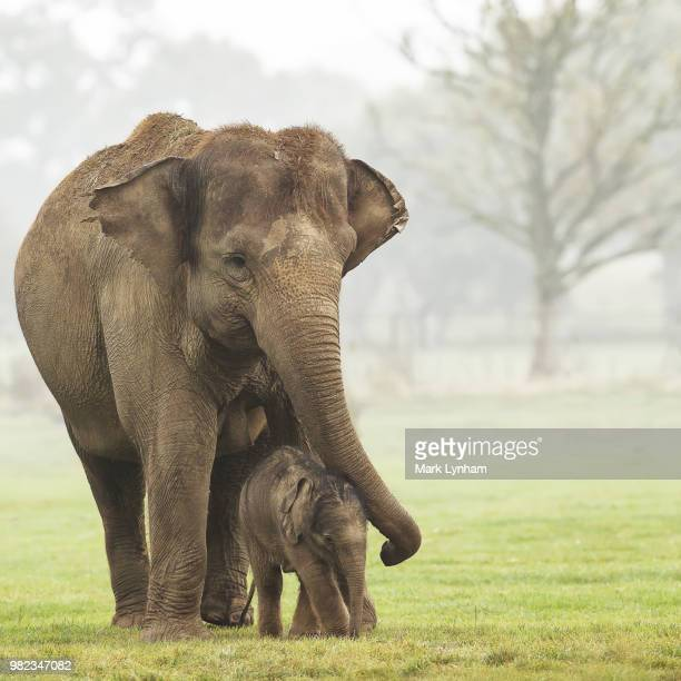 a elephant and its calf - baby elephant stock photos and pictures
