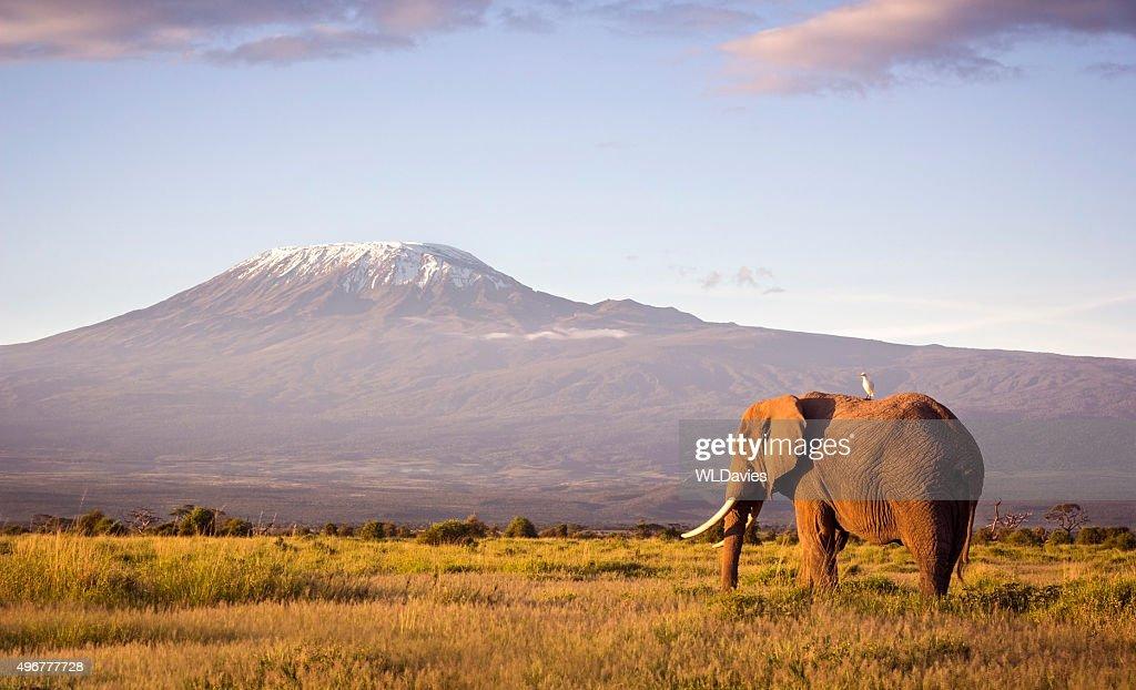 Elephant and Kilimanjaro : Stock Photo
