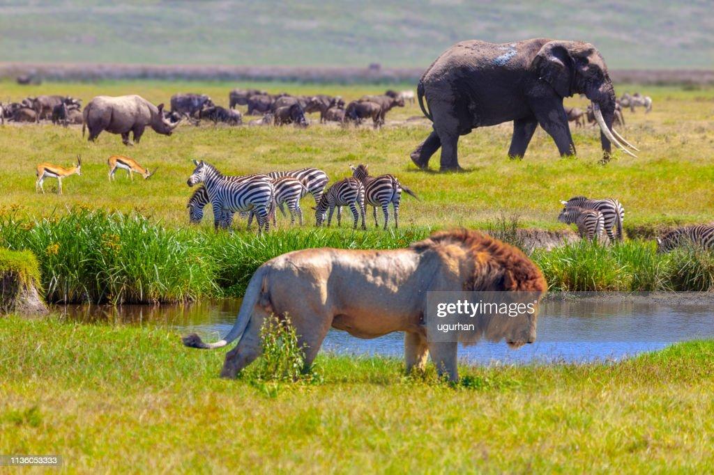 Olifant en Leeuw : Stockfoto
