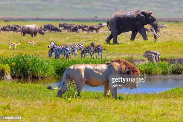 elephant and lion - animal themes stock pictures, royalty-free photos & images
