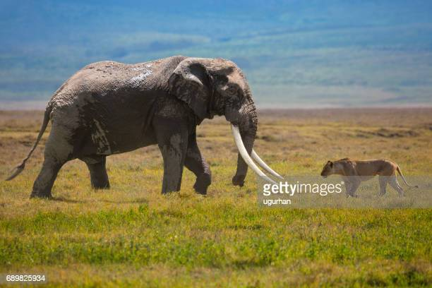 elephant and lion - animals hunting stock pictures, royalty-free photos & images