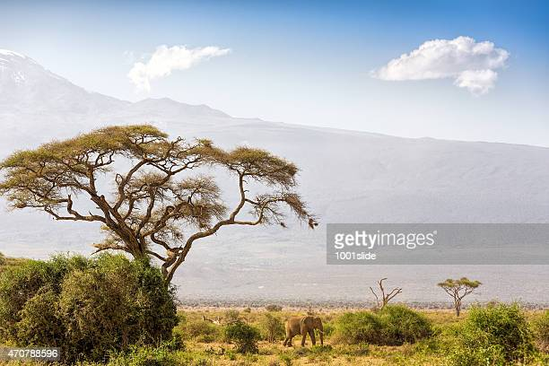 Elephant and Mount Kilimanjaro with Acacia
