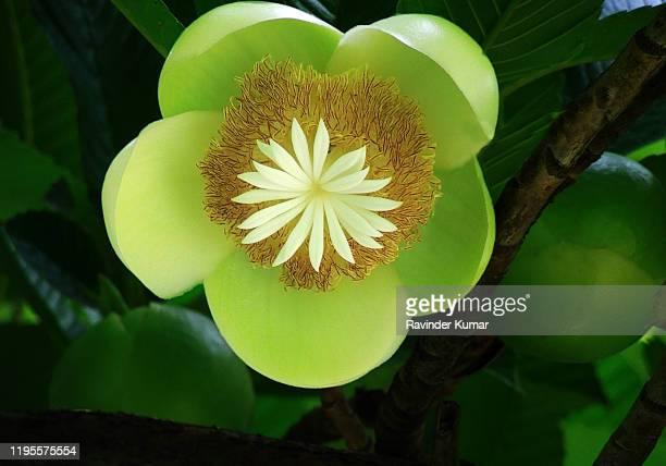 elephant apple the rare flower in full bloom dillenia indica. chalta.avartaki. ma-tad.             indica. - rainy season stock pictures, royalty-free photos & images