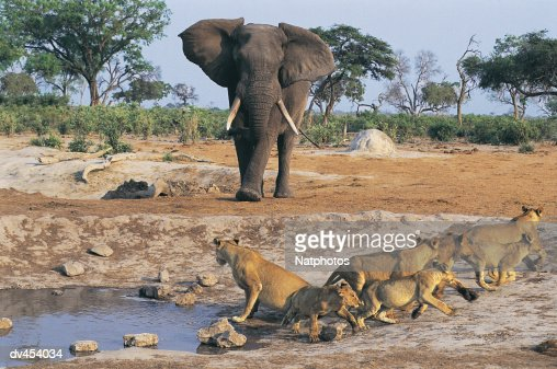 photo of the year lioness cub elephant