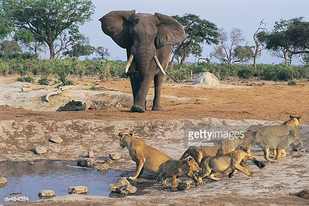elephant approaches lioness and cubs - waterhole stock pictures, royalty-free photos & images