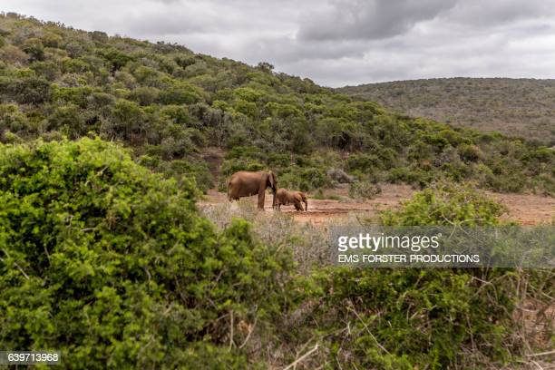elephant are walking in addo national park - ems forster productions stock pictures, royalty-free photos & images