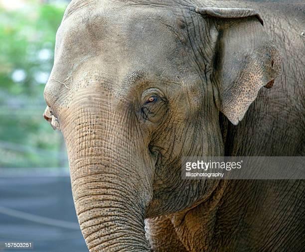 Elephant at Belgium Zoo