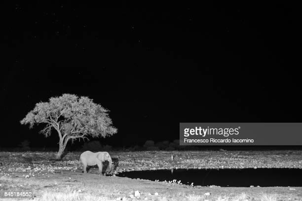elephant at night, okaukuejo, etosha, namibia - night safari stock pictures, royalty-free photos & images