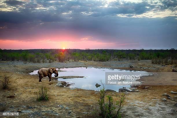 Éléphant au coucher du soleil, en Namibie.