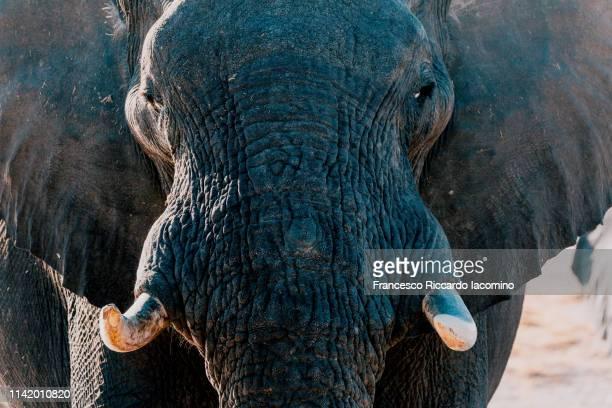 elephant at the okavango delta - iacomino botswana foto e immagini stock