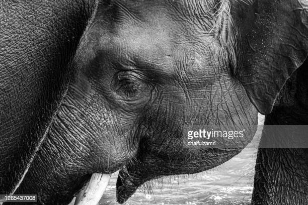 elephant baby in black and white - shaifulzamri stock-fotos und bilder