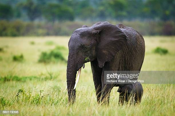 Elephant baby nursing on her mother standing in the rain at the serengeti plains