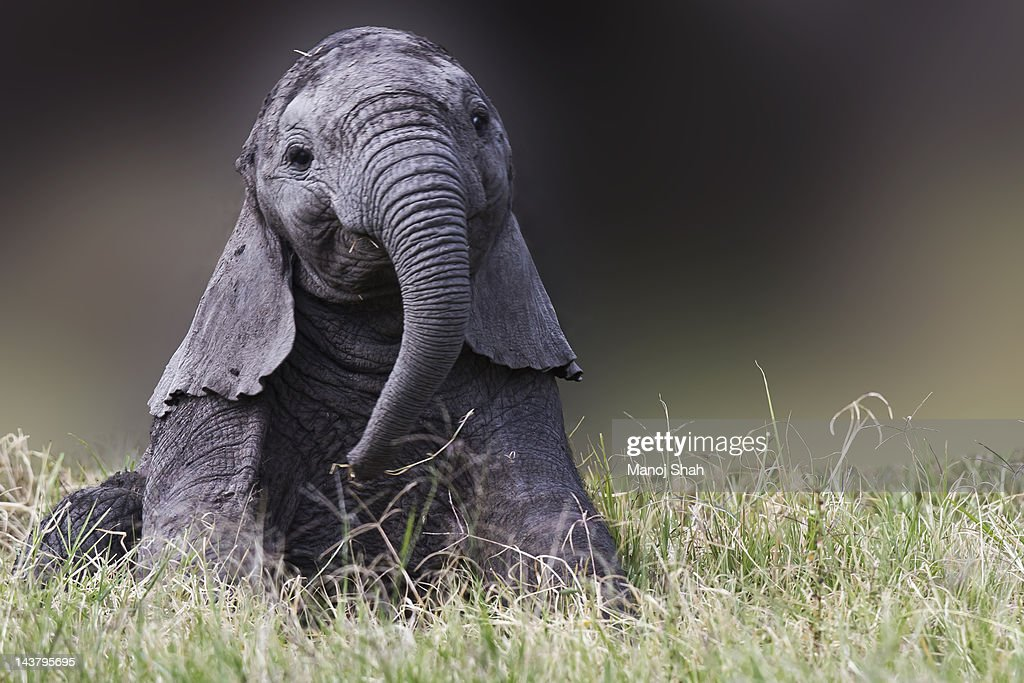 Whilst the mother was feeding nearby, the baby sat down and started playing with its trunk.