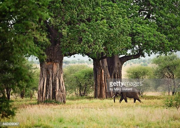 elephant & baobabs, tarangire national park - tarangire national park stock pictures, royalty-free photos & images