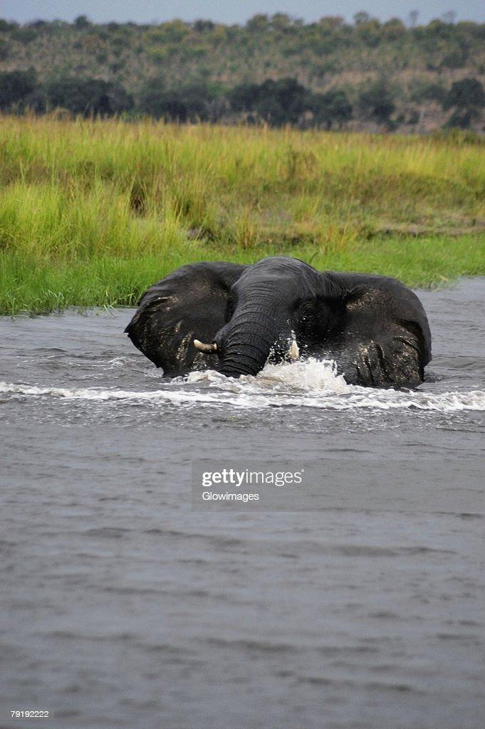 Elephant bathing in a river, Chobe National Park, Botswana : Stock Photo