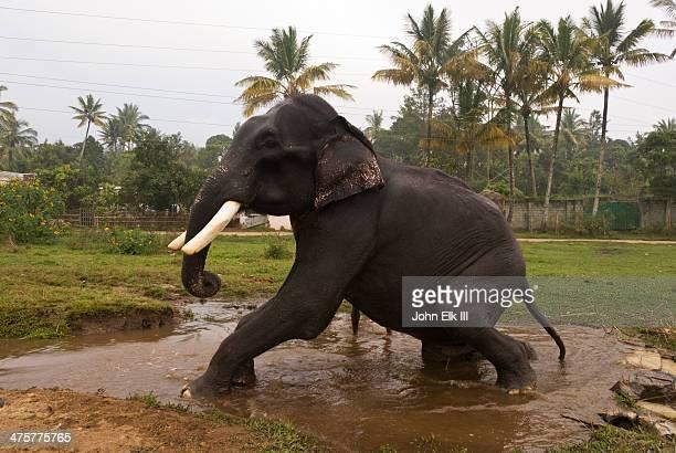 elephant bathing - kerala elephants stock pictures, royalty-free photos & images