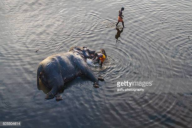 elephant being washed by mahout - kerala elephants stock pictures, royalty-free photos & images