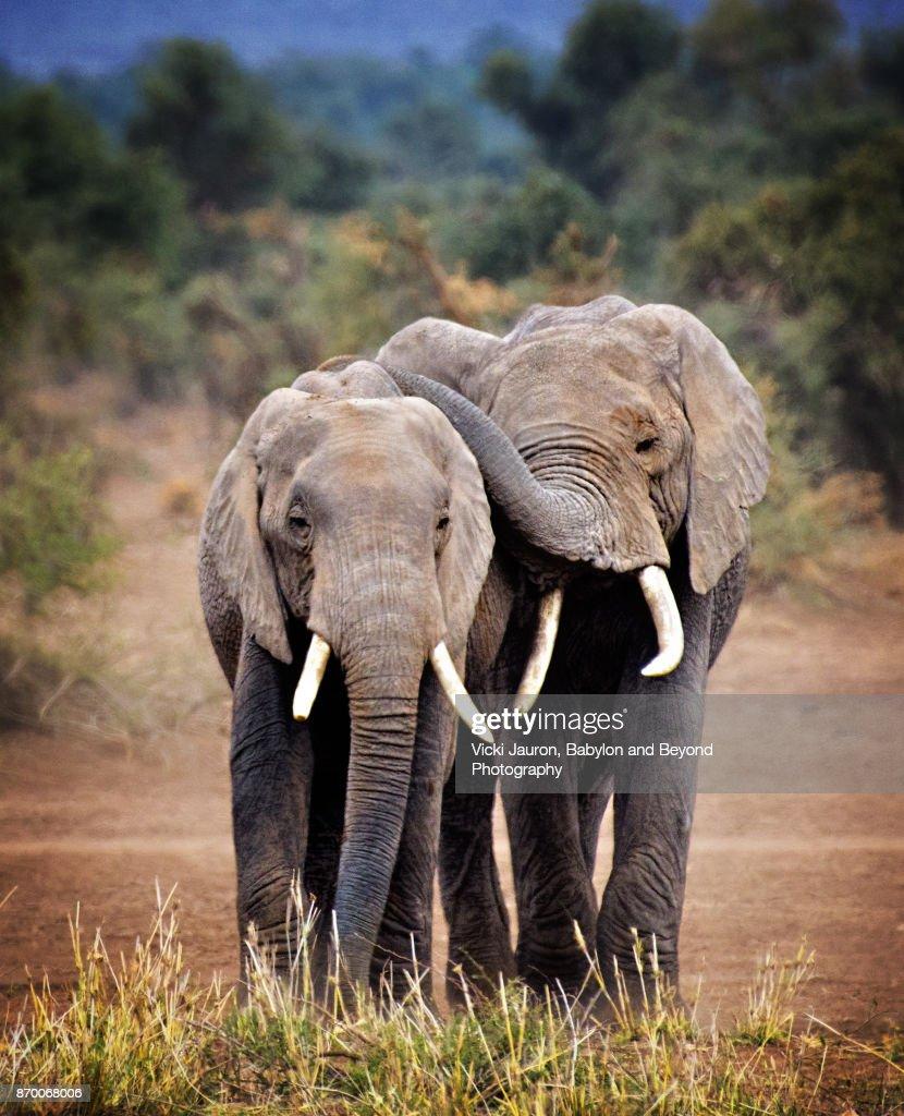 Elephant Buddies in Amboseli, Kenya : Stock Photo