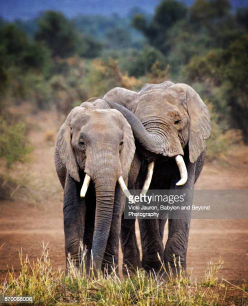 elephant buddies in amboseli, kenya - african elephant stock photos and pictures