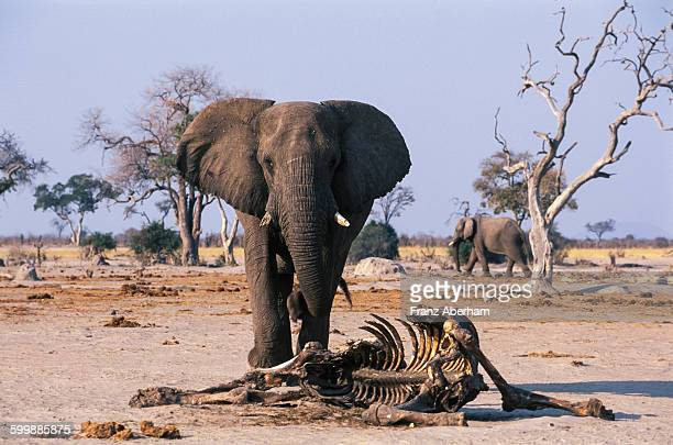 elephant bull and carcass of a companions, savuti - mourning stock photos and pictures