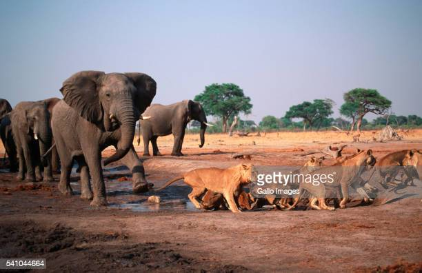 Elephant Bull Charging Lions at Water Hole