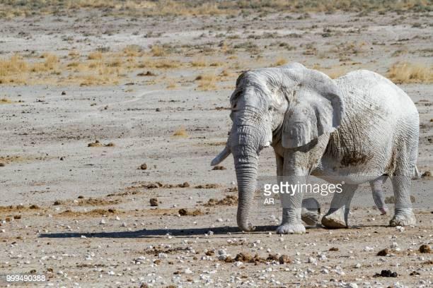 Elephant (Loxodonta africana), bull in rut, Etosha National Park, Namibia