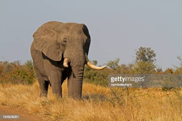 elephant bull - african elephant stock photos and pictures