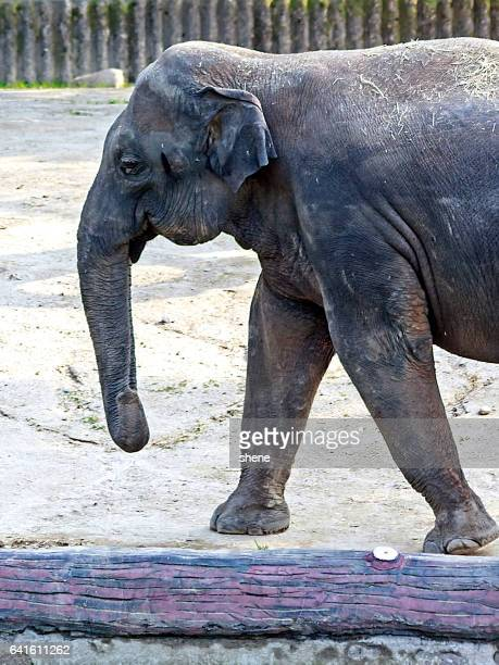 elephant by side view - elephantiasis stock photos and pictures