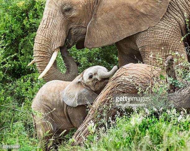 Elephant calf and mother in Samburu kenya