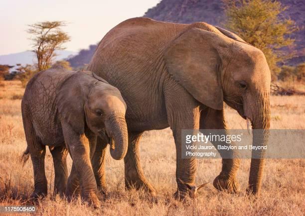 elephant calf and mother in warm sunlight at samburu, kenya - 動物の親子 ストックフォトと画像