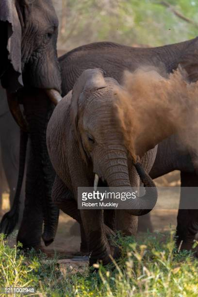 elephant calf dusts itself - female animal stock pictures, royalty-free photos & images