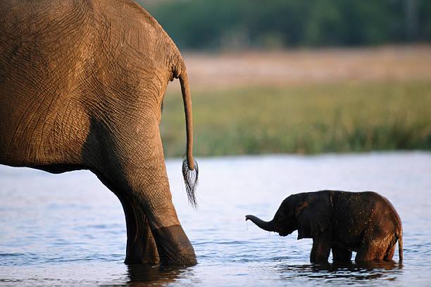 Elephant (Loxodanta Africana) Calf Following Mother, Sunset Wall Art