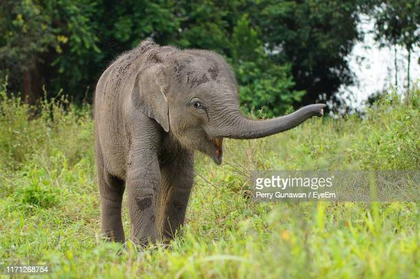 elephant calf standing on land - indian elephant stock pictures, royalty-free photos & images