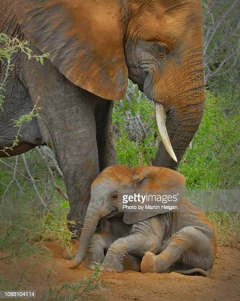 elephant calf taking a dust bath - limpopo province stock pictures, royalty-free photos & images
