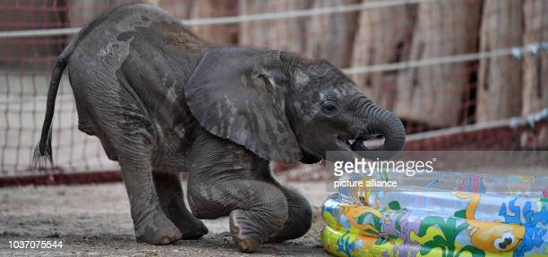 Elephant calf Tamika exploring the enclosure at the zoo in Halle/Saale Germany 22 July 2016 Tamika stands for 'small sweety' The female elephant was...
