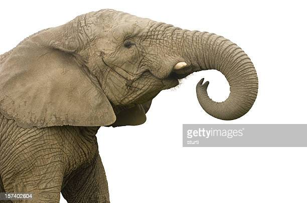 elephant call - elephant face stock photos and pictures