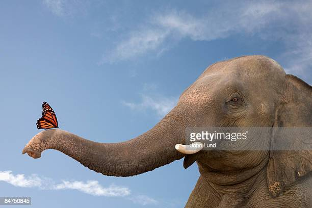 elephant contemplates the butterfly - animal nose stock pictures, royalty-free photos & images
