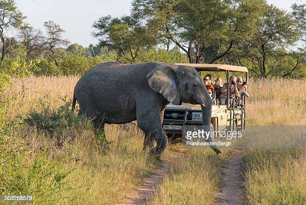 Elephant crossing in front of a safari jeep