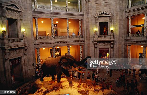 elephant display at national museum of natural history. - smithsonian institution stock pictures, royalty-free photos & images