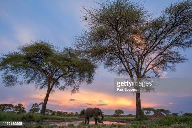 Elephant Drinking at Water Hole, Botswana