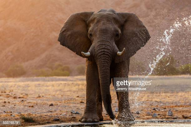 elephant drinking at water hole in savanna landscape - white elephant stock photos and pictures