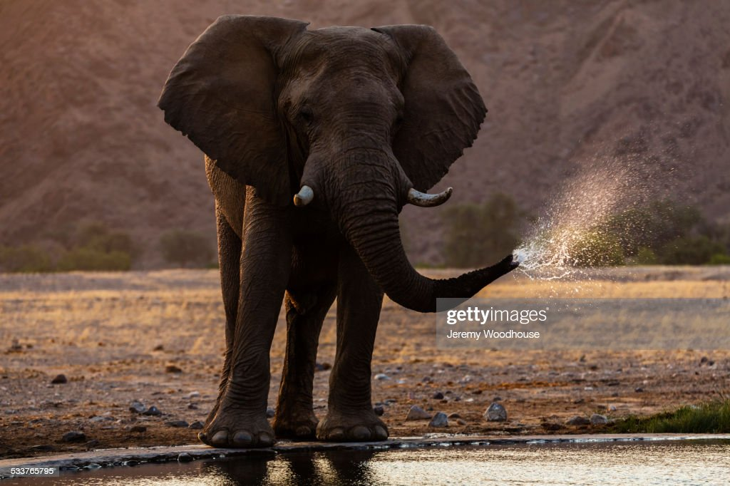 Elephant drinking at water hole in savanna landscape : Foto stock